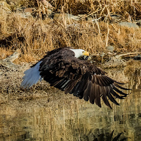 Reflections of a Bald Eagle by Billy Brooks - Animals Birds ( water, flying, bald eagle, reflections, lake )