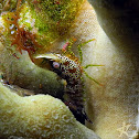 Eyespot Shrimp