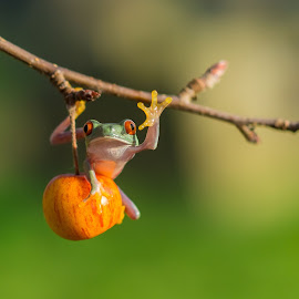 Hi Guys, What's Up ! by Kutub Macro-man - Animals Amphibians (  )