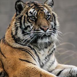 Sumatran Tiger by Garry Chisholm - Animals Lions, Tigers & Big Cats ( garry chisholm, predator, carnivore, cat, nature, tiger, wildlife )