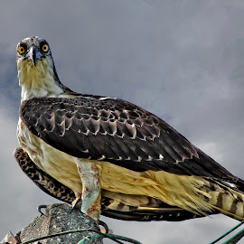 Eye contact with an osprey by Sandy Scott - Animals Birds ( birds of prey, fishing birds, eye contact with an osprey, birds, raptors, osprey,  )