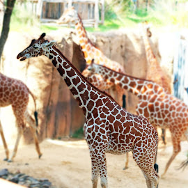 Giraffes at the zoo by Fred Regalado - Novices Only Wildlife
