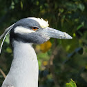 Yellow-crowned Night- Heron