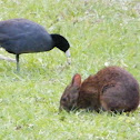 Marsh Rabbit and Coot