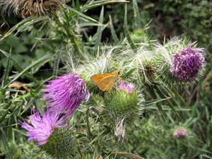 moth and thistle