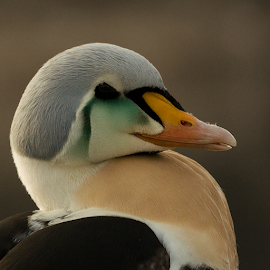 Hello by Ann-Kristin Heimly - Animals Birds ( somateria spectabilis, beautiful, andenes, king eider, norway )