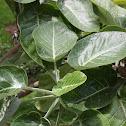 Dendroseris marginata