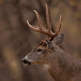 Whitetail Buck by Tom Samuelson - Animals Other ( whitetail buck )