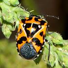 Harlequin Cabbage Bug or Calico Bug