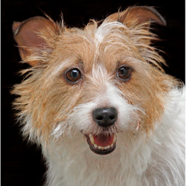 Pretty girl by Mia Ikonen - Animals - Dogs Portraits ( charming, jack russell terrier, finland, little, cute,  )