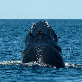 Humpback Whale by Wade Tregaskis - Animals Sea Creatures ( humpback, blue, ocean, whale, nose )