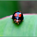 Red-dotted Black Ladybird Beetle