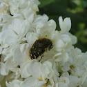 Apple blossom beetle (Rutava buba)