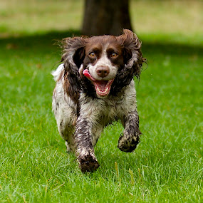 by James Blyth Currie - Animals - Dogs Running ( cockerspaniel, kensington gardens, canon7d, hyde park, london, canon70-200mm, runnning, dog, lulu )