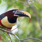 Chestnut-eared aracari