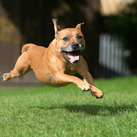 Dog Running and leaping by Philip Lord - Animals - Dogs Running ( canine, pet, sprint, dog, fast, running )