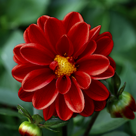Dahlia by Nikola Vlahov - Flowers Single Flower ( red, petals, bokeh, close up, dahlia, flower )