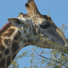 South African Giraffe