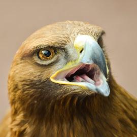 Golden Eagle 4 by Don Alexander Lumsden - Animals Birds