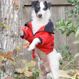 Angus Showing Off his Jacket by Marie Anderson - Animals - Dogs Portraits ( dog, portrait, animal,  )