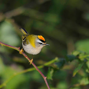 Common firecrest by Fred van Maurik - Animals Birds ( bird, orange, europe, passerine, firecrest, yellow,  )