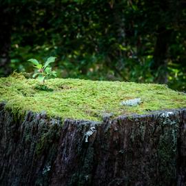 Never Give Up! by Robert Willson - Nature Up Close Trees & Bushes ( willson, tree, nc, bob willson, old wood, sapling, places, highlands, usa, robert willson )