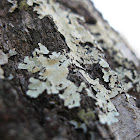 common greenshield
