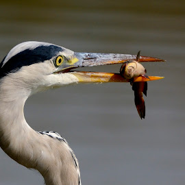 Cenerino vs pesce gatto by Roberto Gandolfi - Animals Birds ( cenerino, oasi, airone, pesca, nikon d7100, heron grey, pesce gatto )