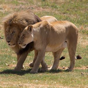 Rhino Lion 441.jpg