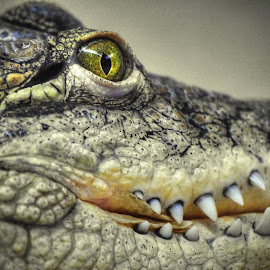 Mèfiance by Bruno Gueroult - Animals Reptiles ( pentax kx, crocodile, alligator, caïman, reptile )