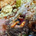 Olivar's Squat Lobster