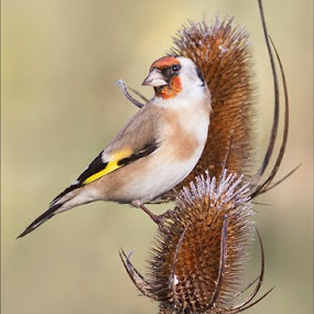 No otter today, just a lovely Goldfinch on the frosty teasels. by Marlene Finlayson - Animals Birds