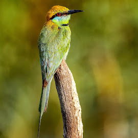 Blue tailed Bee-eater by Kuppusamy Ramesh - Animals Birds