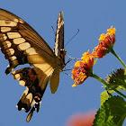 King Swallowtail or Thoas Swallowtail