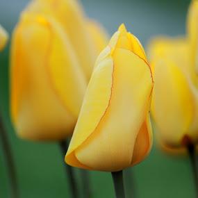 Budding Fashion by Christine Weaver-Cimala - Flowers Flower Buds ( nature, tulip, bud, spring, garden, flower )