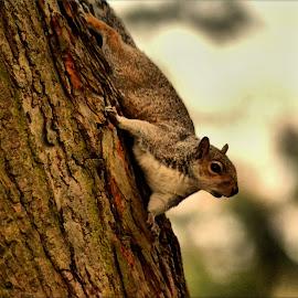 Sneaky squirrel by Nic Scott - Animals Other Mammals ( grey squirrel, rodent, squirrel )