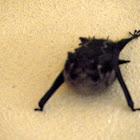Brazilian Long nosed bat