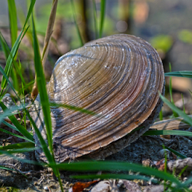 Shelly by Mario Denić - Nature Up Close Other Natural Objects ( water, shell, armor, river, animal )