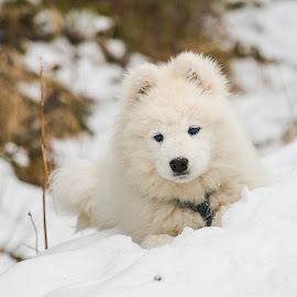 Puppy in snow by Peter Grutter - Animals - Dogs Puppies ( skye, snow, play, white, puppy, samoyed, dog )