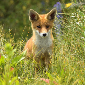 Fox by Thyra Schoonderwoerd - Animals Other ( fox, vos, spring, springtime )