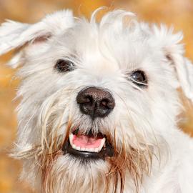 Sunny by Mia Ikonen - Animals - Dogs Portraits ( miniature schnauzer, happy, finland, fun, smiling )