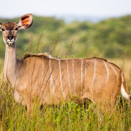 Nyala Female by Peter de Groot - Animals Other ( pdgpix, female, buck, nyala, antelope, zululand )