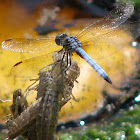Blue Dasher Dragonfly and a dragonfly Exuvia