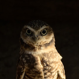 Who Are You Looking At by Ed Hanson - Animals Birds ( bird, nature, owl, brown, close-up )