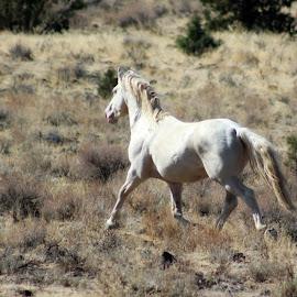 Sandor by Kathy Tellechea - Animals Horses ( stallion, wild, free, horse, male, running )