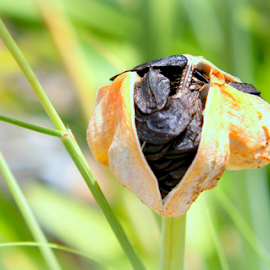 Seed Pod by Elfie Back - Nature Up Close Leaves & Grasses ( grasses, nature, seeds )