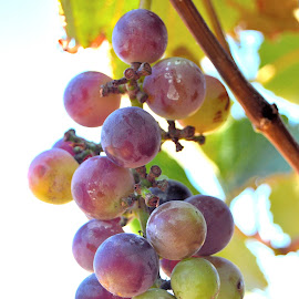 Sour Grapes  by Renu Jayasinghe - Food & Drink Fruits & Vegetables ( sour, grapes, summer,  )