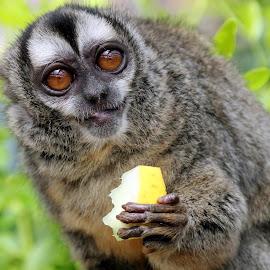 Douroucouli Monkey by Ralph Harvey - Animals Other Mammals ( wildlife, ralph harvey, marwell zoo, monkey, animal )
