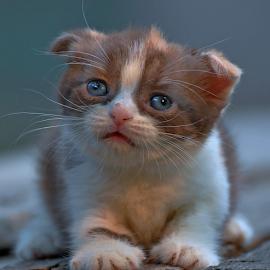 by Cacang Effendi - Animals - Cats Kittens ( cattery, kitten, cat, animals, chandra )