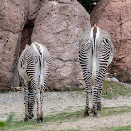 Interesting patterns by Jack Brittain - Animals Other Mammals ( scarborough, canada, nature, zoo, toronto, ontario, zebra, mammal, animal )